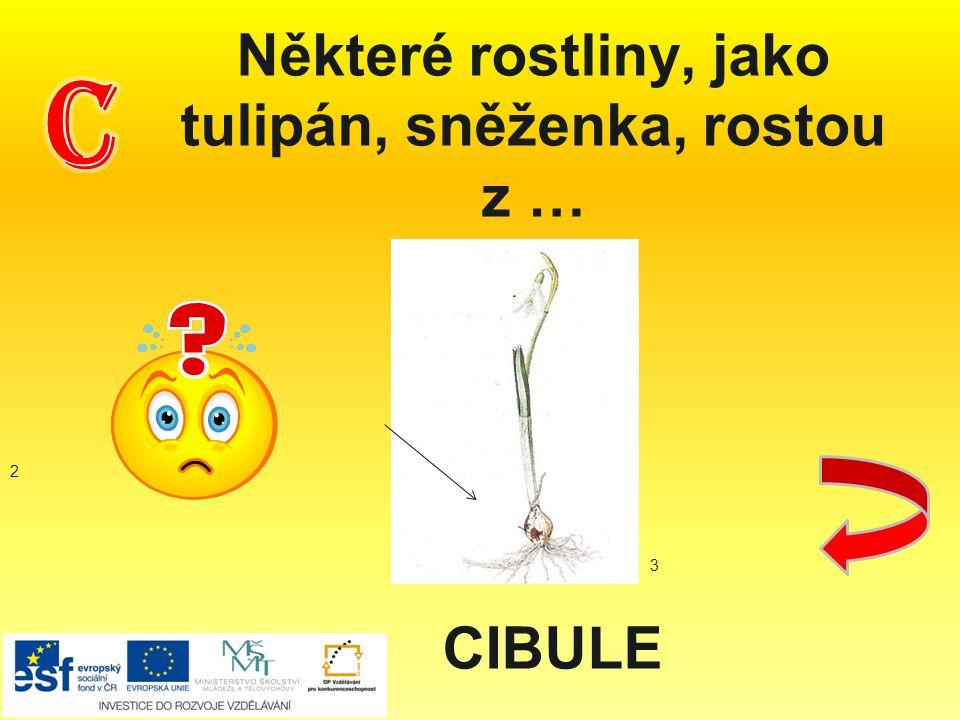 Některé rostliny, jako tulipán, sněženka, rostou z … CIBULE 2 3