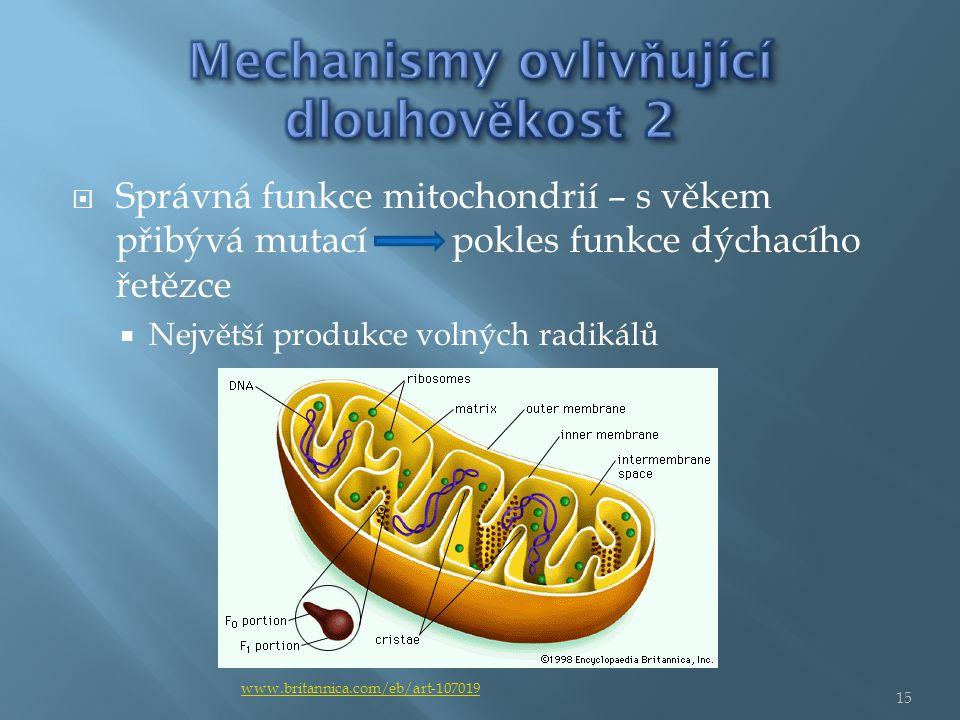  Správná funkce mitochondrií – s věkem přibývá mutací pokles funkce dýchacího řetězce  Největší produkce volných radikálů www.britannica.com/eb/art-107019 15
