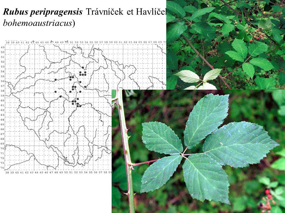 Rubus peripragensis Trávníček et Havlíček ined. (R. bohemoaustriacus)