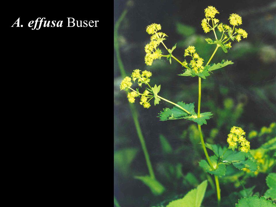 A. effusa Buser