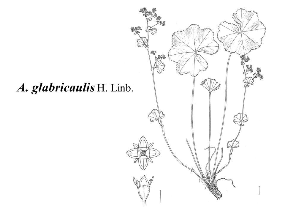 A. glabricaulis H. Linb.