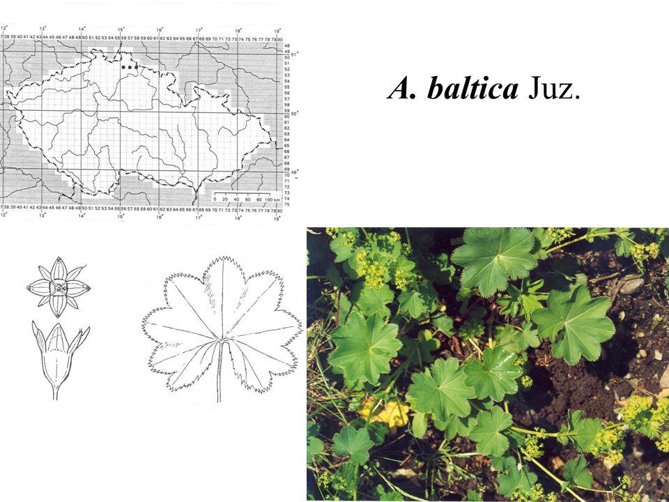 A. baltica Juz.