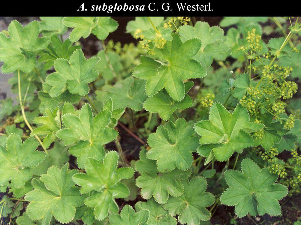 A. subglobosa C. G. Westerl.