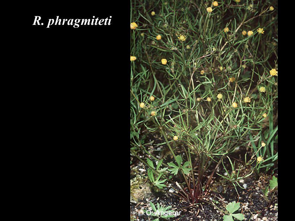 R. phragmiteti