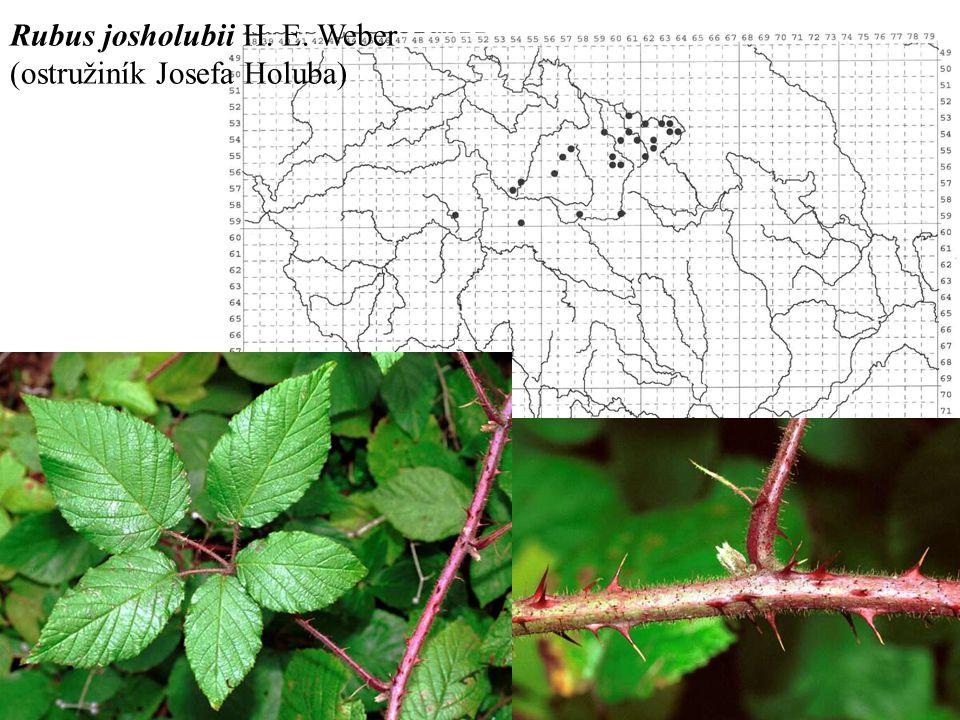 Rubus josholubii H. E. Weber (ostružiník Josefa Holuba)