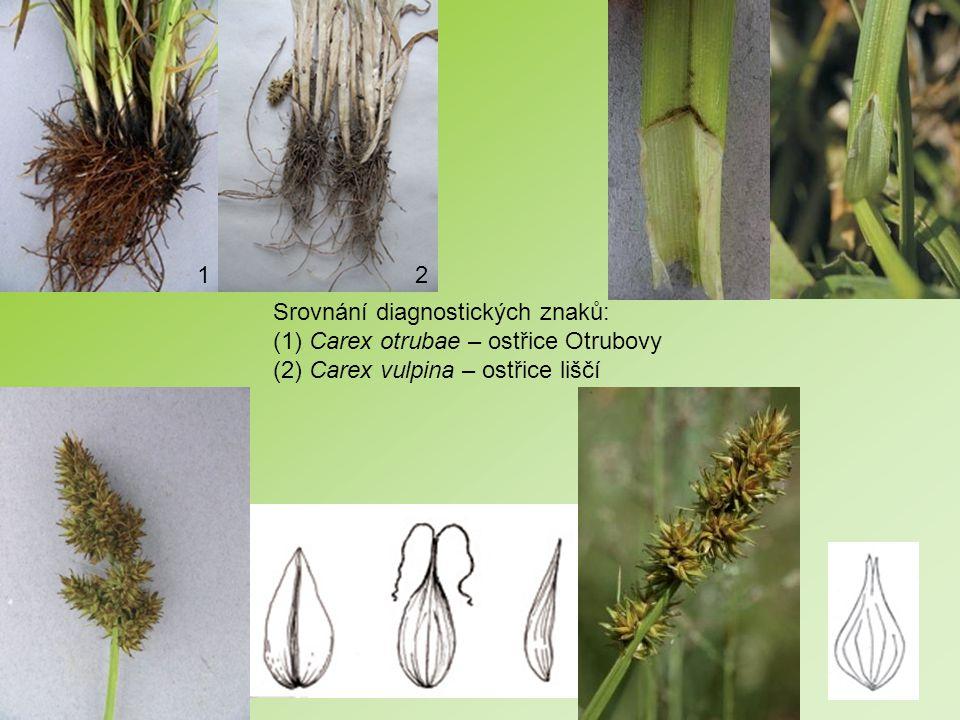 Srovnání diagnostických znaků: (1) Carex otrubae – ostřice Otrubovy (2) Carex vulpina – ostřice liščí 12