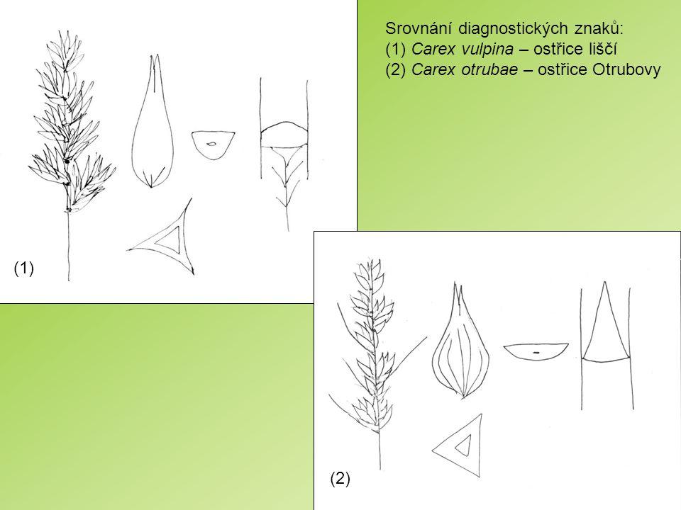 Srovnání diagnostických znaků: (1) Carex vulpina – ostřice liščí (2) Carex otrubae – ostřice Otrubovy (1) (2)