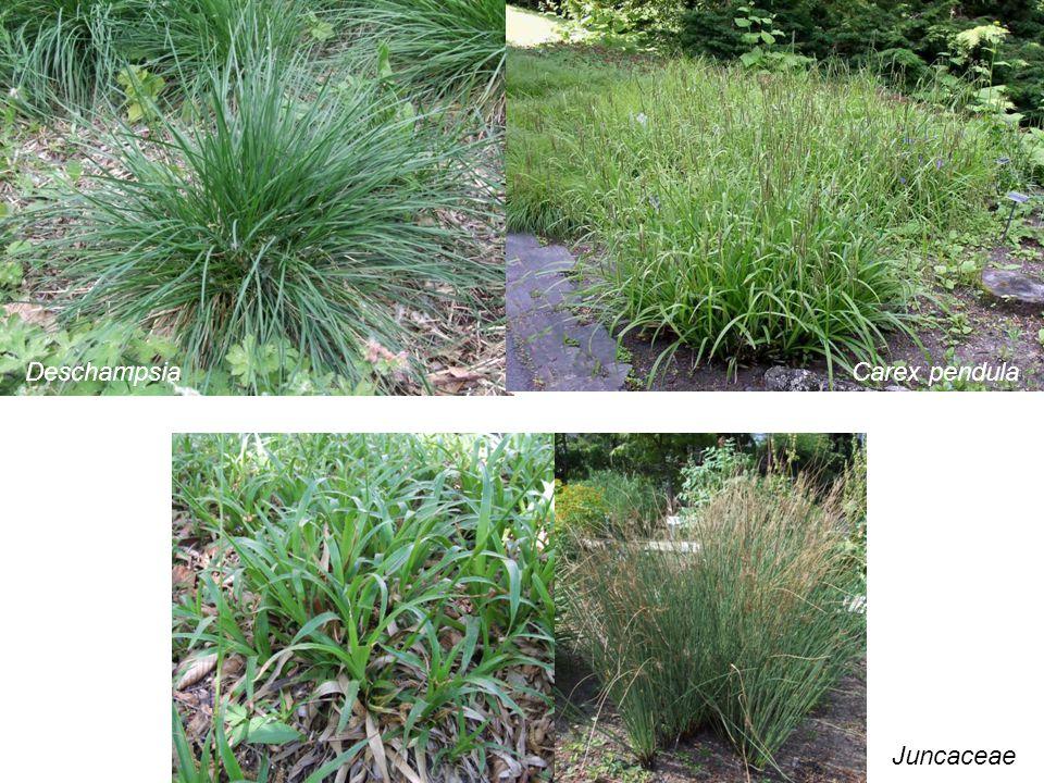 Juncaceae DeschampsiaCarex pendula