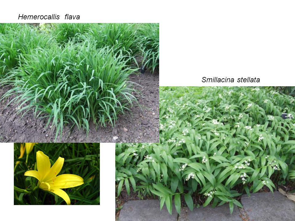 Hemerocallis flava Smillacina stellata