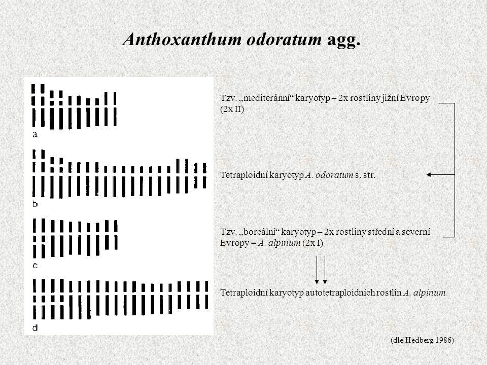 """Anthoxanthum odoratum agg. Tzv. """"boreální"""" karyotyp – 2x rostliny střední a severní Evropy = A. alpinum (2x I) Tzv. """"mediteránní"""" karyotyp – 2x rostli"""