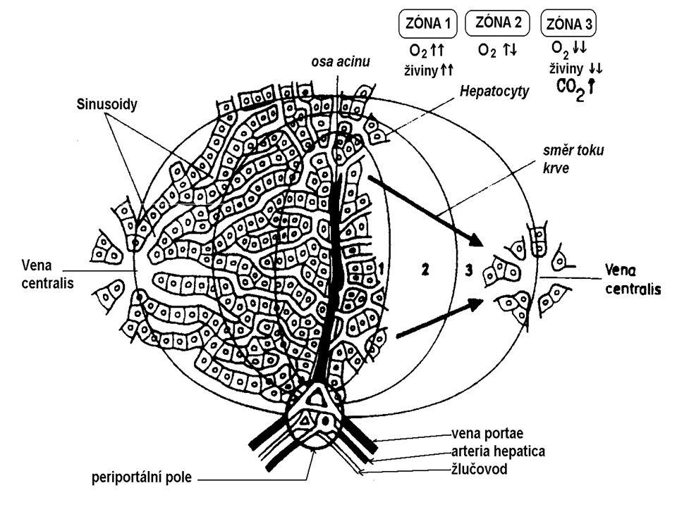 FUNKCE JATER v metabolismu * Sacharidů: homeostáza glukosy monosacharidy na glukosu * Proteinů: proteosyntéza plasmatických b. Aminokyselin: oxidační