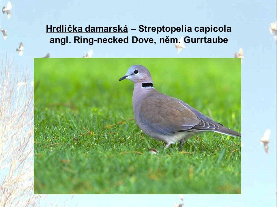 Hrdlička červenopásá – Streptopelia tranquebarica angl. Red-collared Dove, něm. Zwerglachtaube