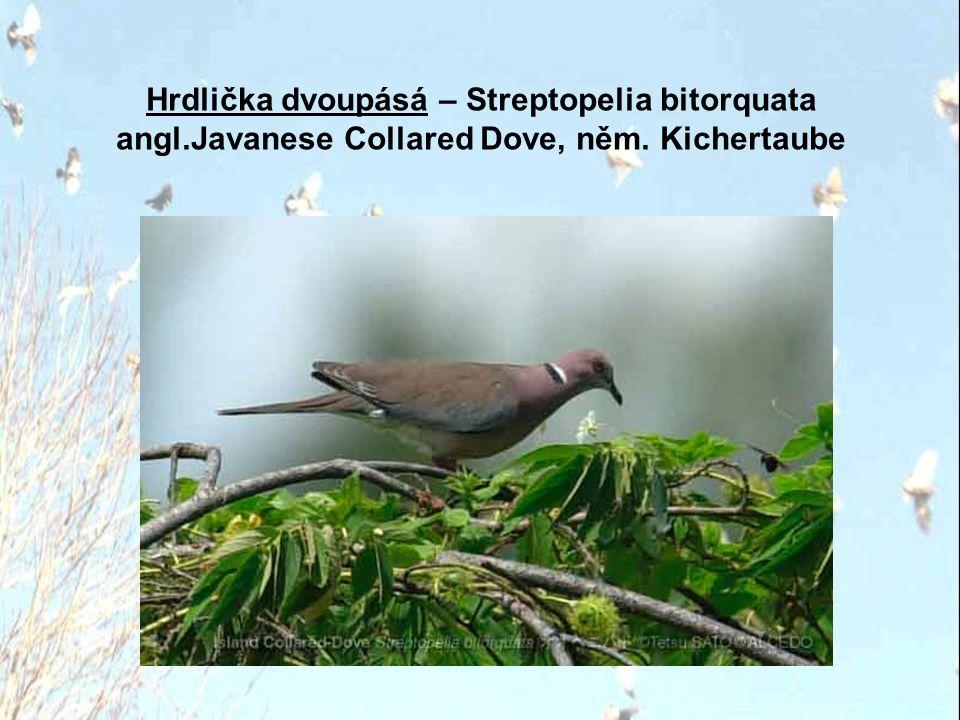 Hrdlička divoká – Streptopelia turtur angl. Turtle Dove, něm. Turteltaube