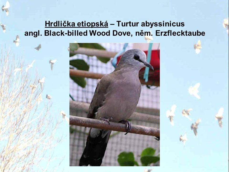 Hrdlička dvoupásá – Streptopelia bitorquata angl.Javanese Collared Dove, něm. Kichertaube