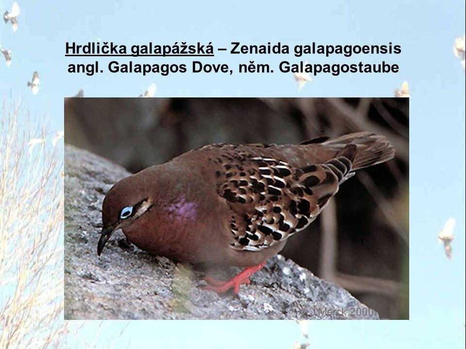 Hrdlička etiopská – Turtur abyssinicus angl. Black-billed Wood Dove, něm. Erzflecktaube