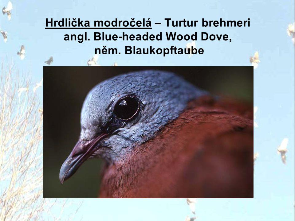 Hrdlička madagaskarská – Streptopelia picturata angl. Madagascar Turtle Dove, něm. Madagaskarturteltaube