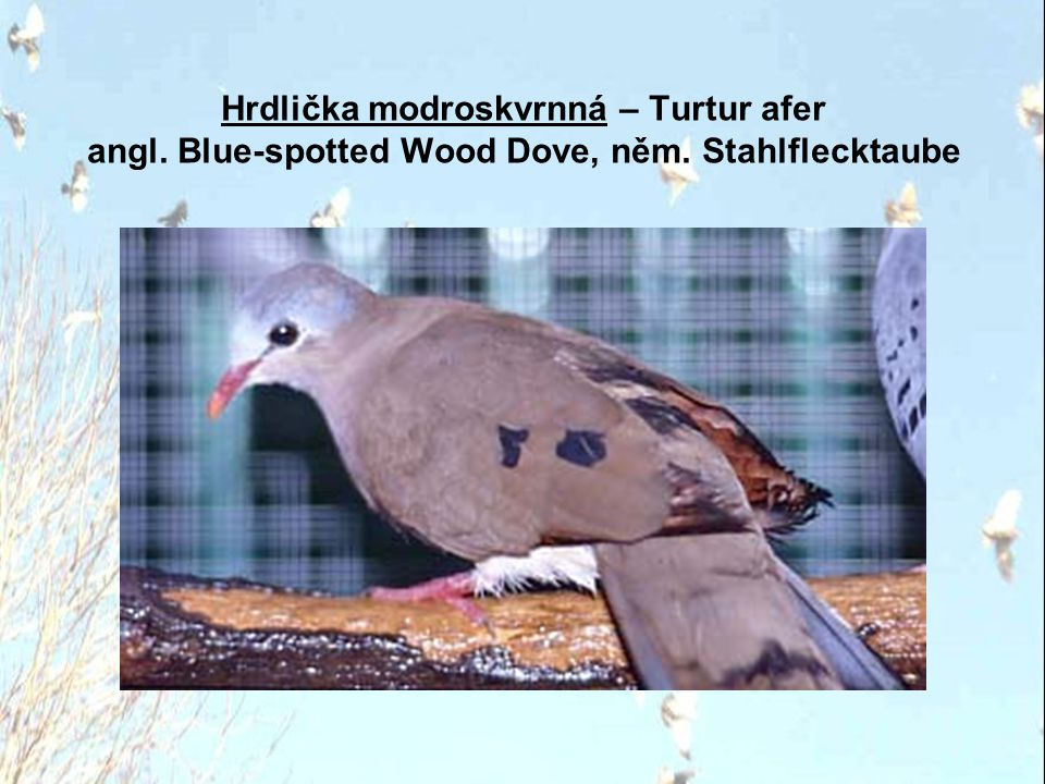 Hrdlička modročelá – Turtur brehmeri angl. Blue-headed Wood Dove, něm. Blaukopftaube
