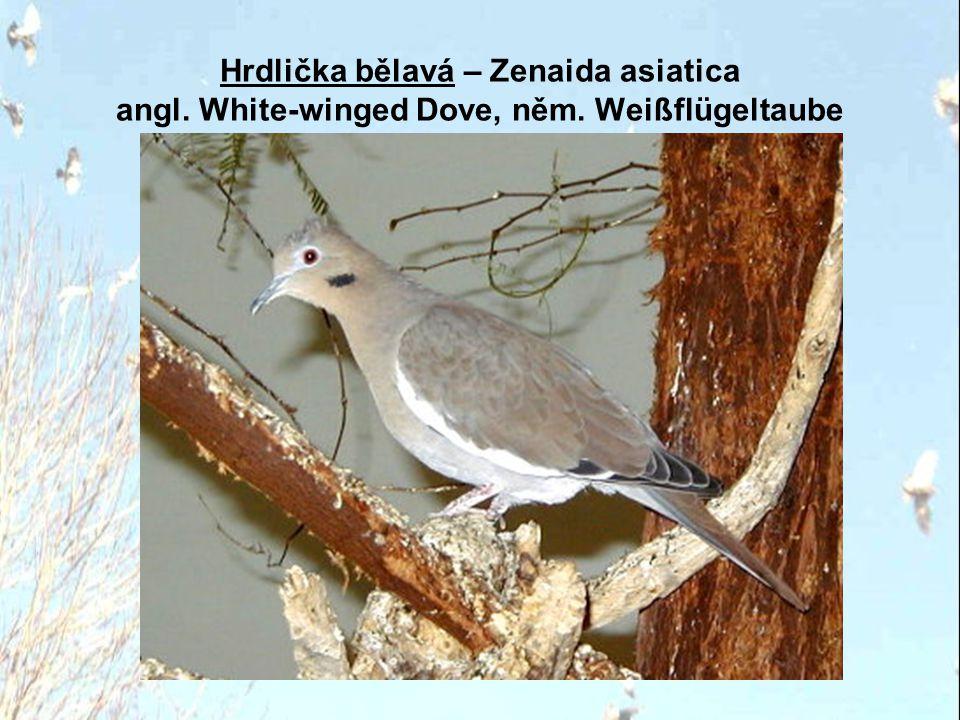 Hrdlička bělavá – Zenaida asiatica angl. White-winged Dove, něm. Weißflügeltaube
