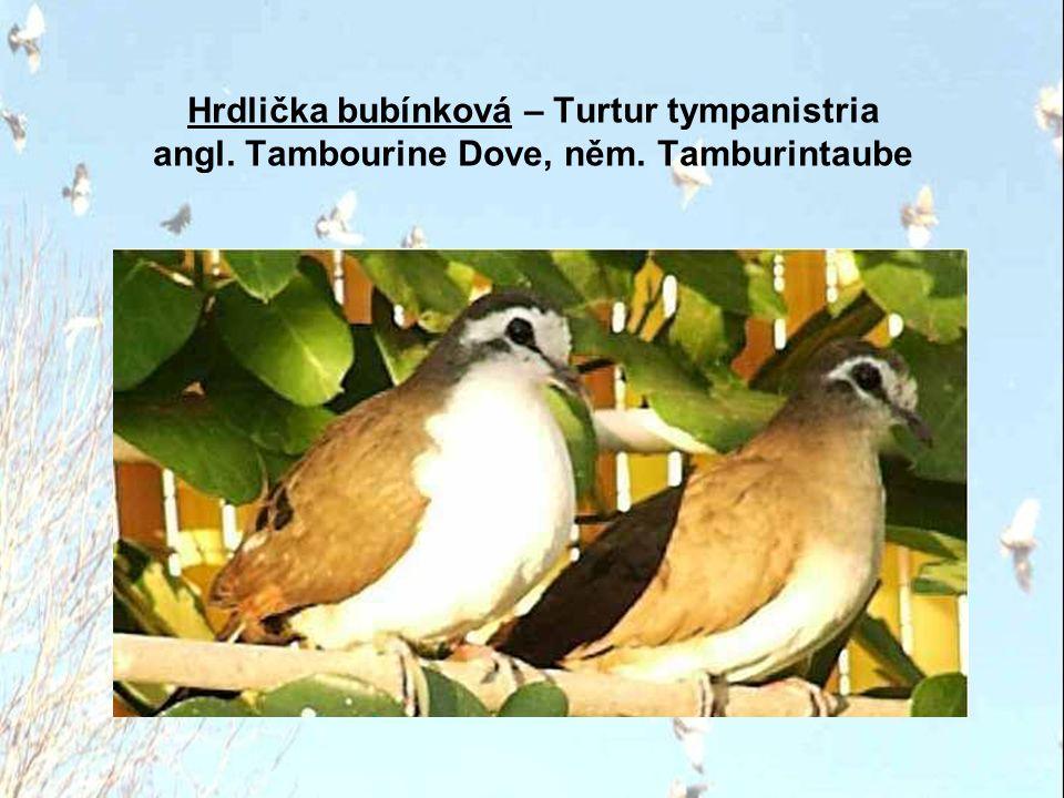 Hrdlička bubínková – Turtur tympanistria angl. Tambourine Dove, něm. Tamburintaube