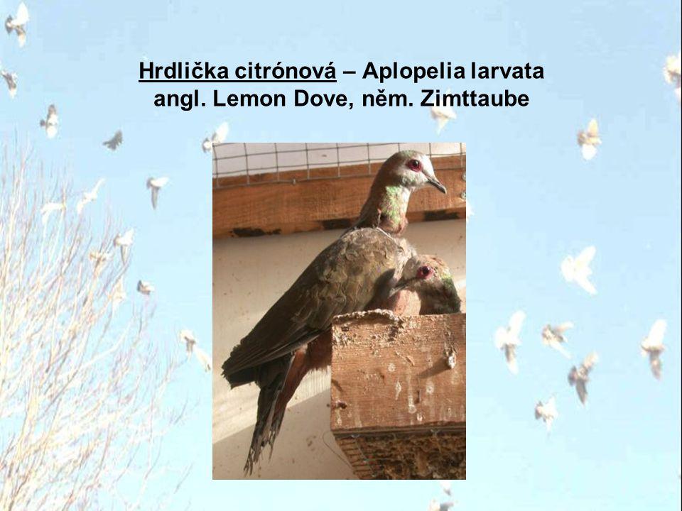 Hrdlička citrónová – Aplopelia larvata angl. Lemon Dove, něm. Zimttaube