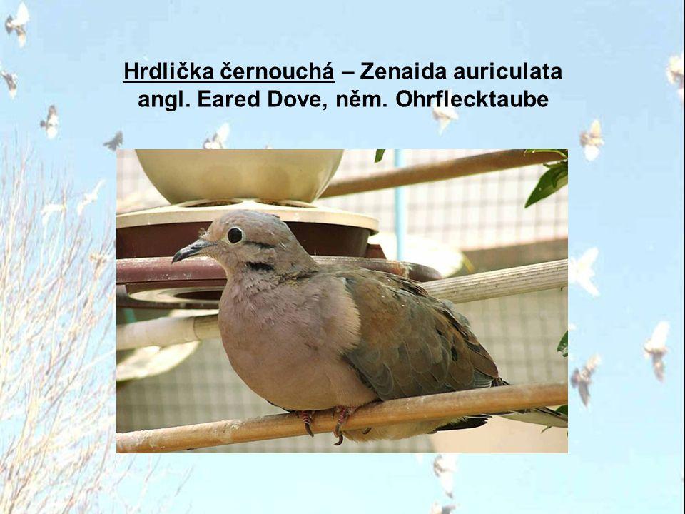 Hrdlička kropenatá – Streptopelia chinensis angl. Spotted-necked Dove, něm. Perlhalstaube