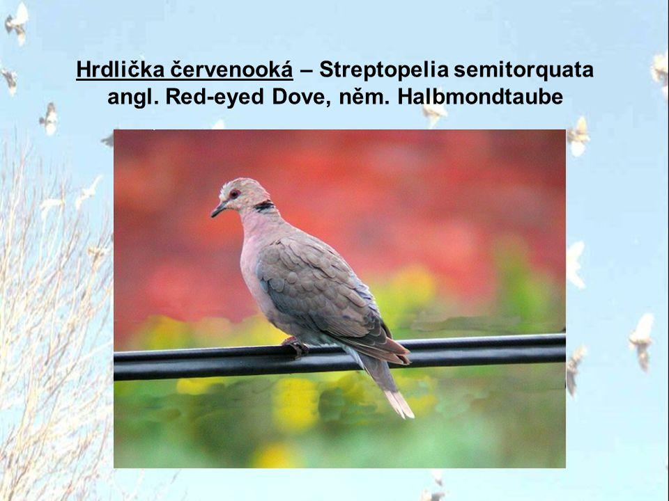 Hrdlička červenooká – Streptopelia semitorquata angl. Red-eyed Dove, něm. Halbmondtaube