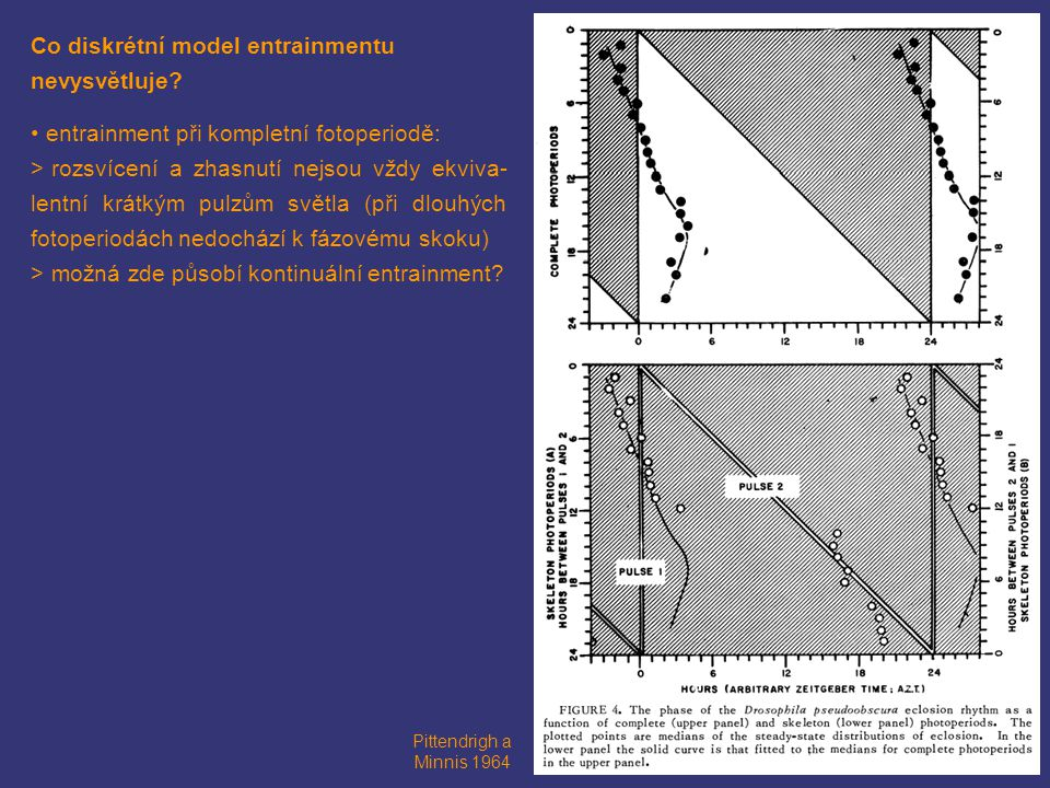 Co diskrétní model entrainmentu nevysvětluje? entrainment při kompletní fotoperiodě: > rozsvícení a zhasnutí nejsou vždy ekviva- lentní krátkým pulzům