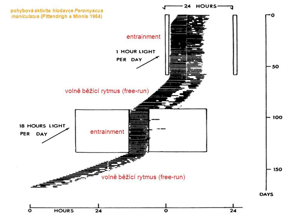 entrainment volně běžící rytmus (free-run) pohybová aktivita hlodavce Peromyscus maniculatus (Pittendrigh a Minnis 1964)