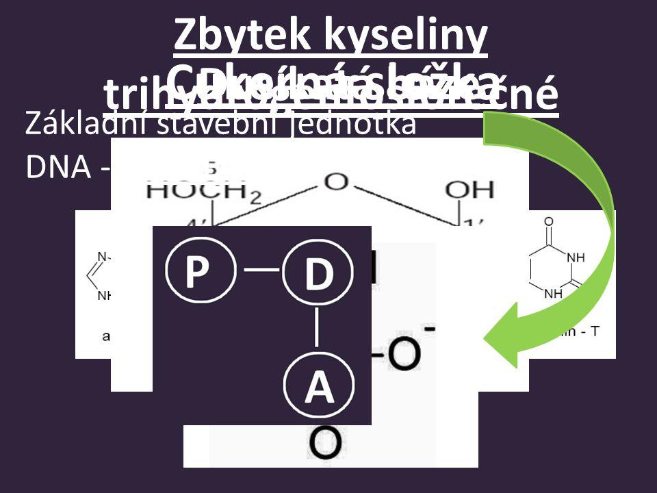 Báze jsou spojeny vodíkovými můstky a vzájemně se doplňují DNA tvořena dvěma polynukleotidovými řetězci, stočenými do šroubovice Jednotlivé nukleotidy určují primární strukturu Komplementární báze: A - T (Dva vodíkové můstky) C- G (Tři vodíkové můstky)