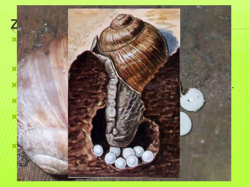  vinutá ulita – chrání tělo a ukrývá vnitřní orgány (ne vždy přítomna)  svalnatá noha – pokryta slizem  hlava – tykadla – nesoucí oči a hmatové b.