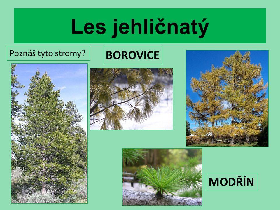 Les jehličnatý BOROVICE MODŘÍN Poznáš tyto stromy?