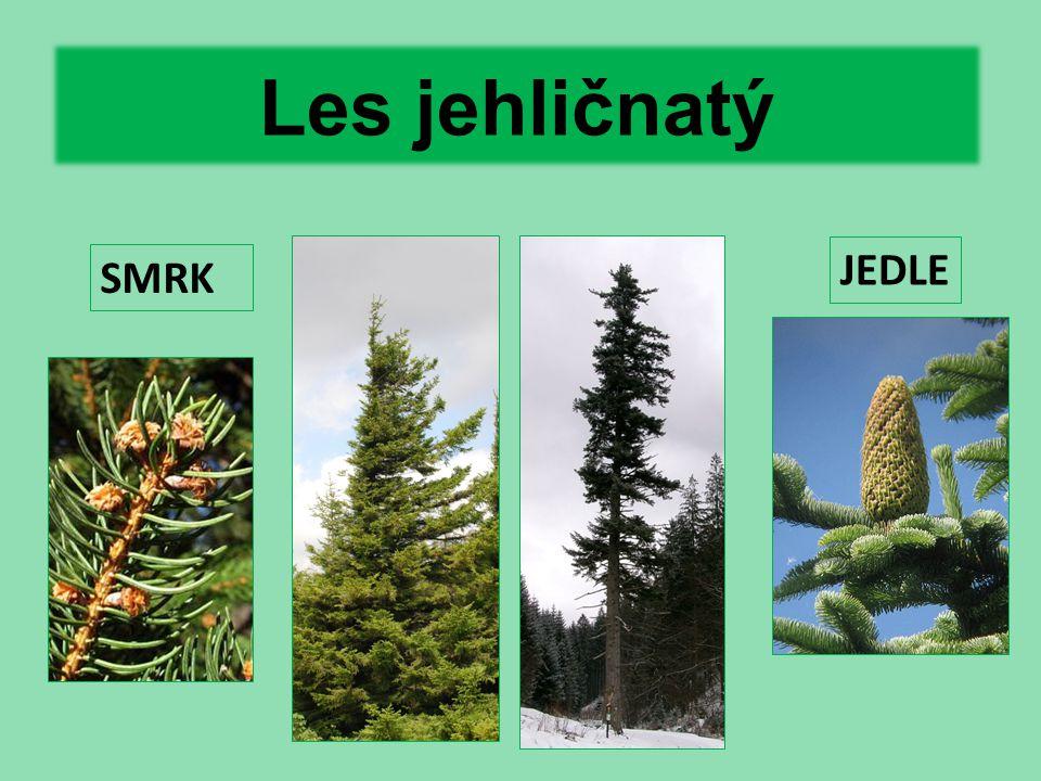 Les jehličnatý JEDLE SMRK