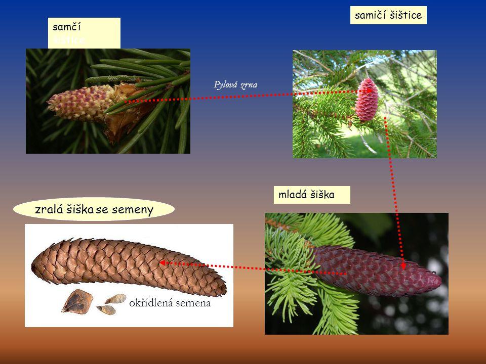 Pylová zrna okřídlená semena zralá šiška se semeny samčí šištice samičí šištice mladá šiška