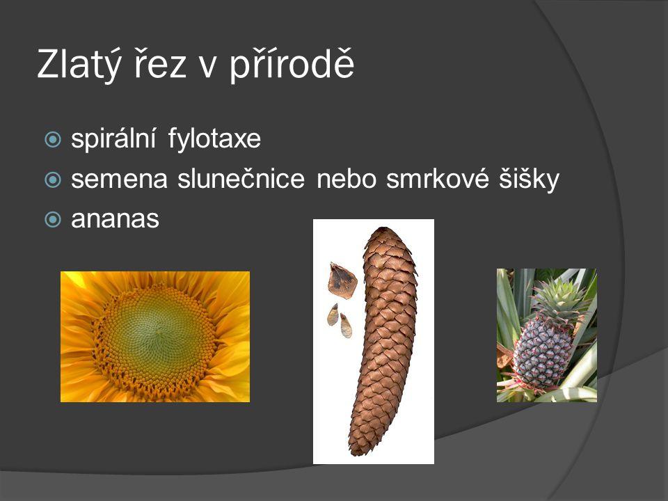 Zlatý řez v přírodě  spirální fylotaxe  semena slunečnice nebo smrkové šišky  ananas