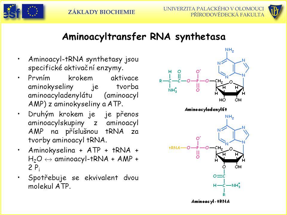 Aminoacyltransfer RNA synthetasa Aminoacyl-tRNA synthetasy jsou specifické aktivační enzymy. Prvním krokem aktivace aminokyseliny je tvorba aminoacyla