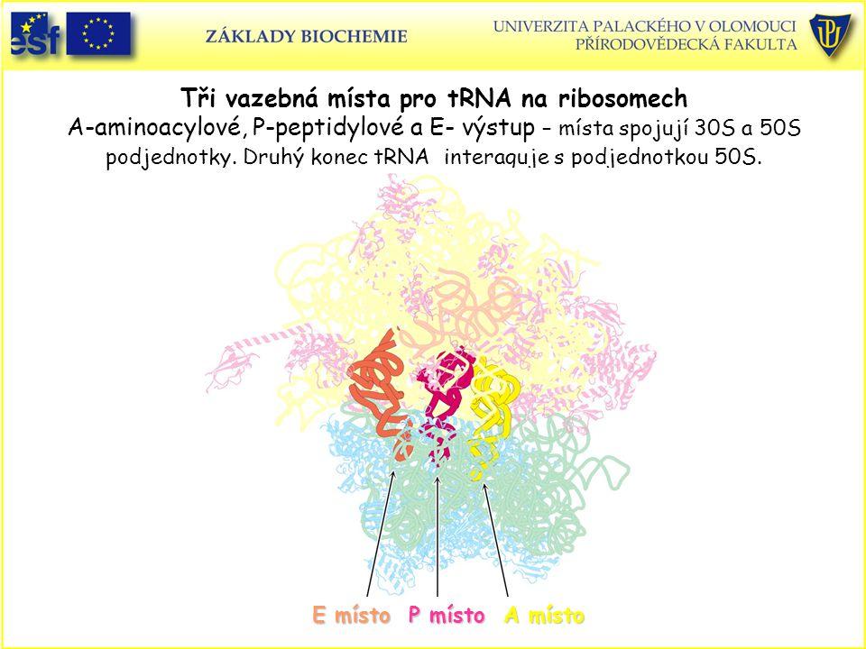 Tři vazebná místa pro tRNA na ribosomech A-aminoacylové, P-peptidylové a E- výstup – místa spojují 30S a 50S podjednotky. Druhý konec tRNA interaguje