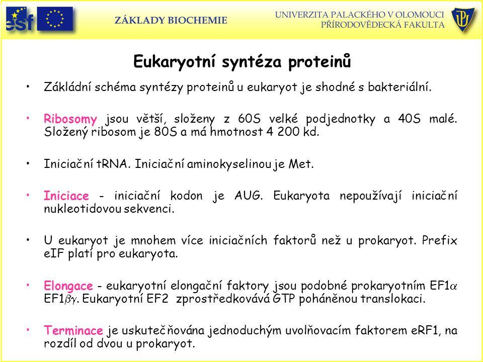 Eukaryotní syntéza proteinů Zákládní schéma syntézy proteinů u eukaryot je shodné s bakteriální. Ribosomy jsou větší, složeny z 60S velké podjednotky