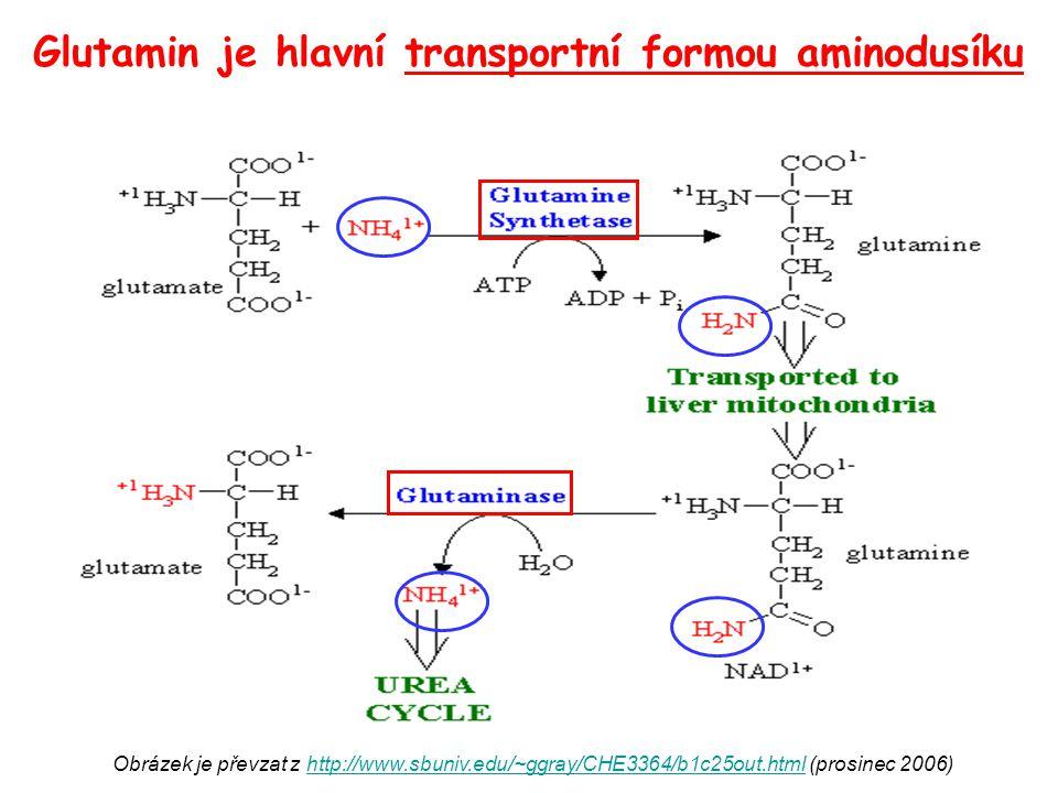 Glutamin je hlavní transportní formou aminodusíku Obrázek je převzat z http://www.sbuniv.edu/~ggray/CHE3364/b1c25out.html (prosinec 2006)http://www.sb