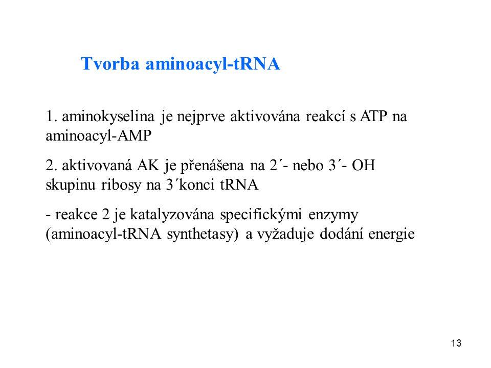 13 Tvorba aminoacyl-tRNA 1. aminokyselina je nejprve aktivována reakcí s ATP na aminoacyl-AMP 2. aktivovaná AK je přenášena na 2´- nebo 3´- OH skupinu
