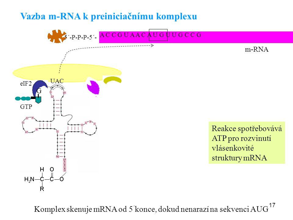 17 Vazba m-RNA k preiniciačnímu komplexu Komplex skenuje mRNA od 5 ´ konce, dokud nenarazí na sekvenci AUG Reakce spotřebovává ATP pro rozvinutí vláse