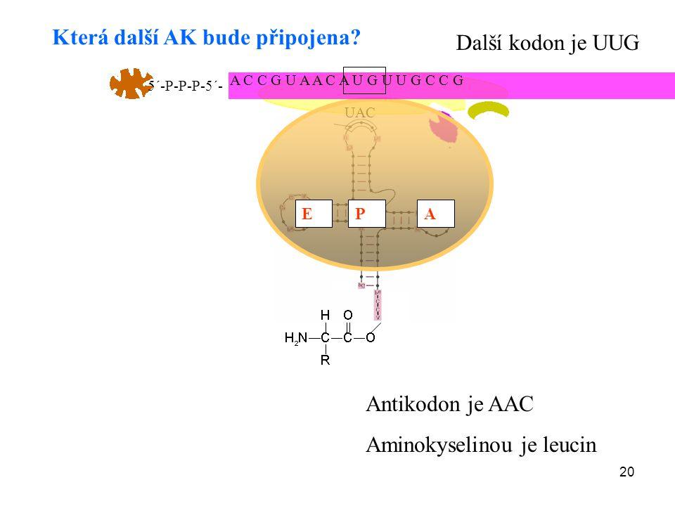 20 UAC APE Která další AK bude připojena? Další kodon je UUG Antikodon je AAC Aminokyselinou je leucin A C C G U A A C A U G U U G C C G 5´-P-P-P-5´-
