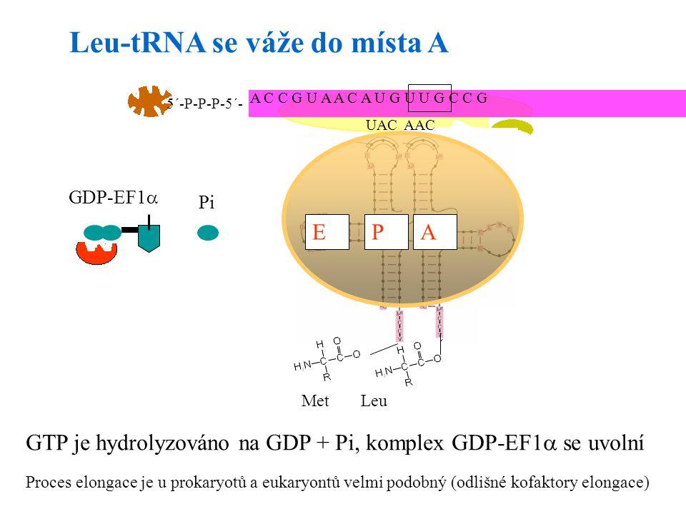 21 UAC APE A C C G U A A C A U G U U G C C G 5´-P-P-P-5´- AAC MetLeu Leu-tRNA se váže do místa A APE GTP je hydrolyzováno na GDP + Pi, komplex GDP-EF1