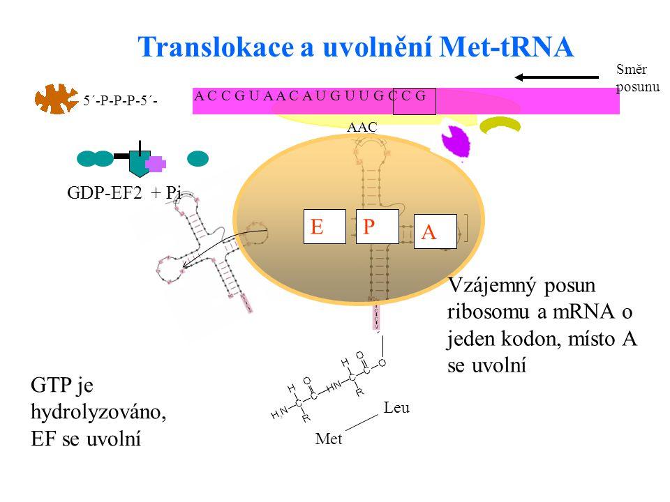 25 APE A C C G U A A C A U G U U G C C G 5´-P-P-P-5´- AAC Met Leu A PE Translokace a uvolnění Met-tRNA Vzájemný posun ribosomu a mRNA o jeden kodon, m