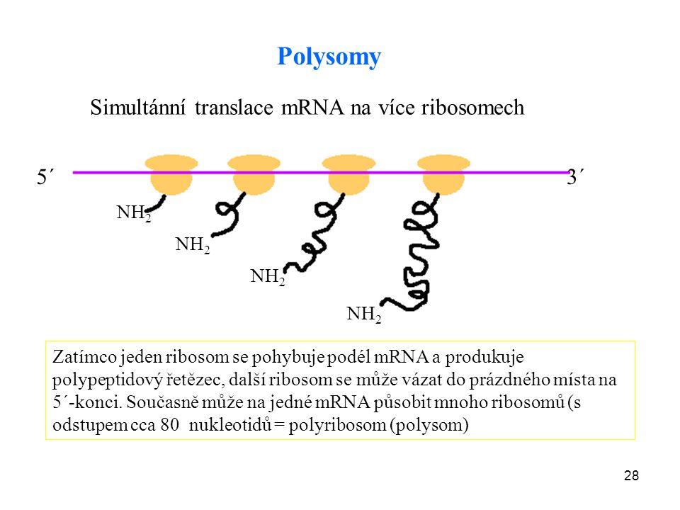 28 Polysomy NH 2 Zatímco jeden ribosom se pohybuje podél mRNA a produkuje polypeptidový řetězec, další ribosom se může vázat do prázdného místa na 5´-
