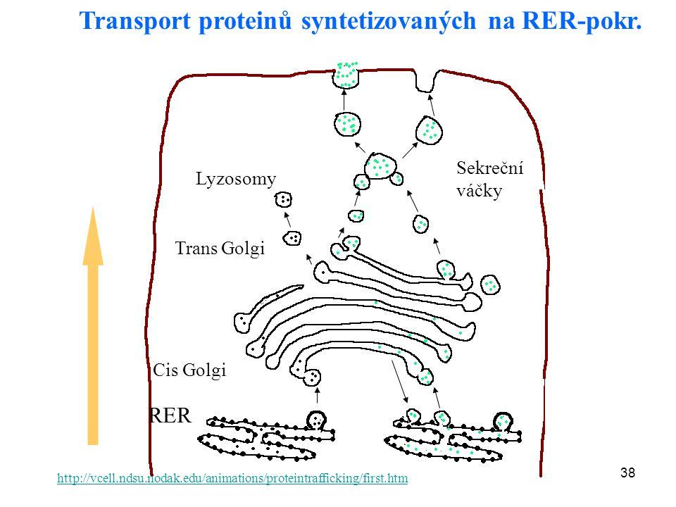 38 Transport proteinů syntetizovaných na RER-pokr. Lyzosomy Sekreční váčky Cis Golgi Trans Golgi http://vcell.ndsu.nodak.edu/animations/proteintraffic