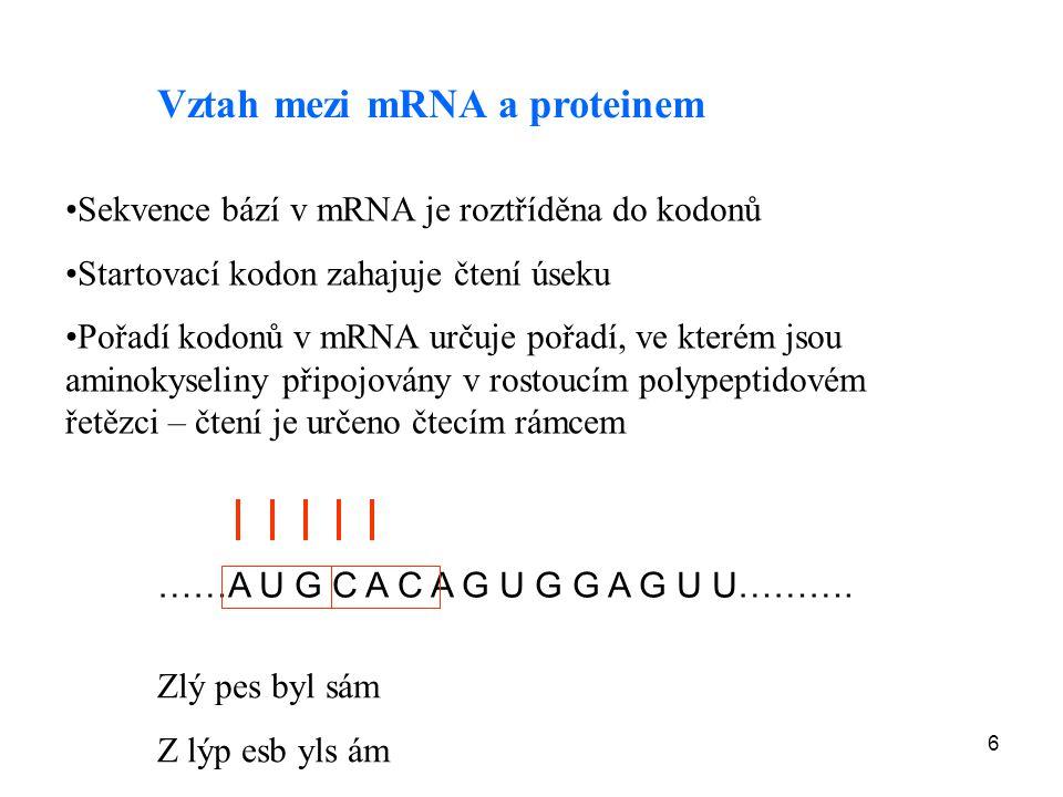 6 Vztah mezi mRNA a proteinem Sekvence bází v mRNA je roztříděna do kodonů Startovací kodon zahajuje čtení úseku Pořadí kodonů v mRNA určuje pořadí, v