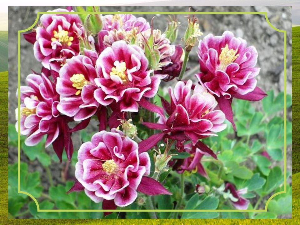 Orlíček obecný patří k rostlinám, s jejichž květy s nezaměnitelnými tvary se ve volné přírodě i na zahrádce můžeme setkat už v květnu. Jsou zavěšené j