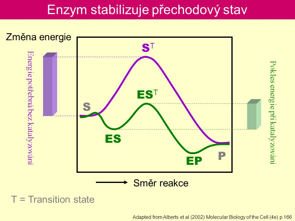 Enzym stabilizuje přechodový stav S P ES ES T EP STST Směr reakce Změna energie E nergie potřebná bez katalyzování Pokles energie při katalyzování T = Transition state Adapted from Alberts et al (2002) Molecular Biology of the Cell (4e) p.166