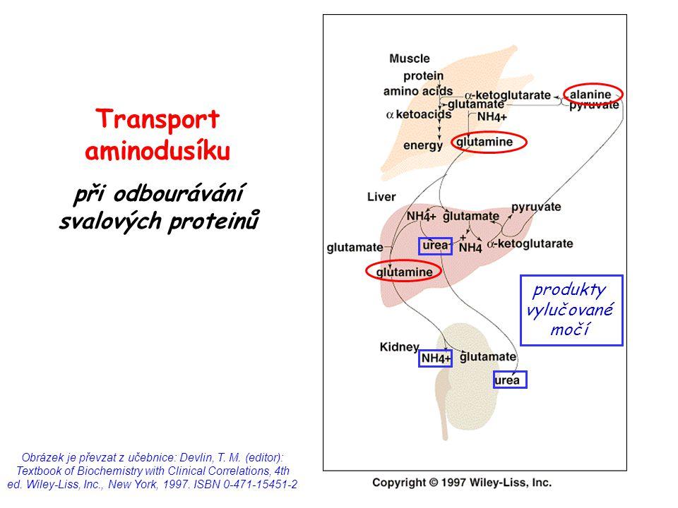 Transport aminodusíku při odbourávání svalových proteinů Obrázek je převzat z učebnice: Devlin, T. M. (editor): Textbook of Biochemistry with Clinical