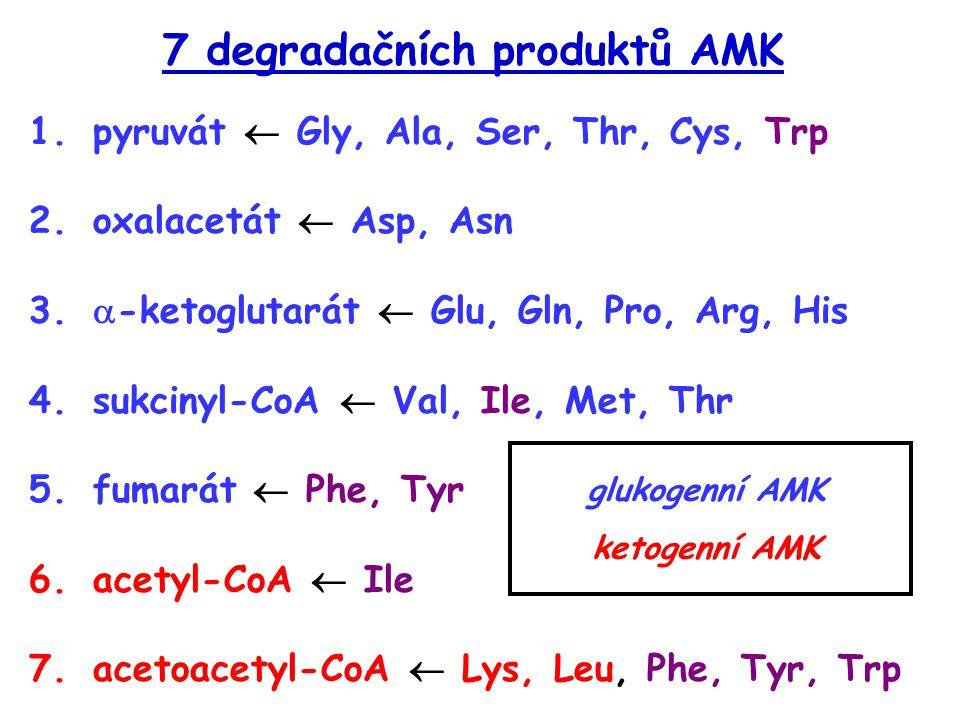 7 degradačních produktů AMK 1.pyruvát  Gly, Ala, Ser, Thr, Cys, Trp 2.oxalacetát  Asp, Asn 3.  -ketoglutarát  Glu, Gln, Pro, Arg, His 4.sukcinyl-C
